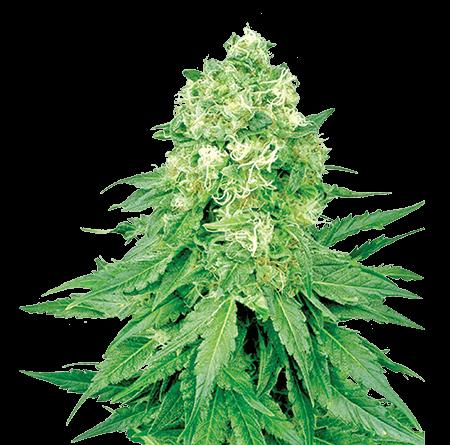 White Banner Feminized Marijuana Seeds