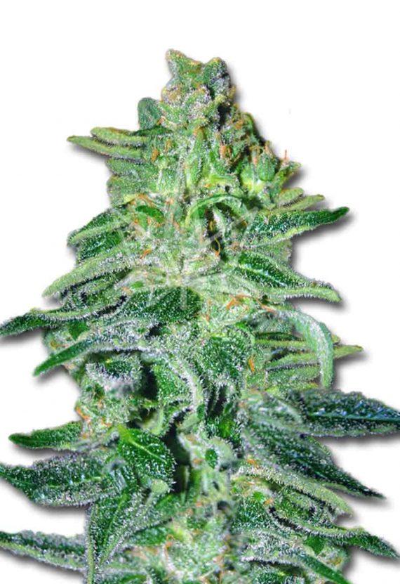 Amnesia Haze Autoflowering Marijuana Seeds
