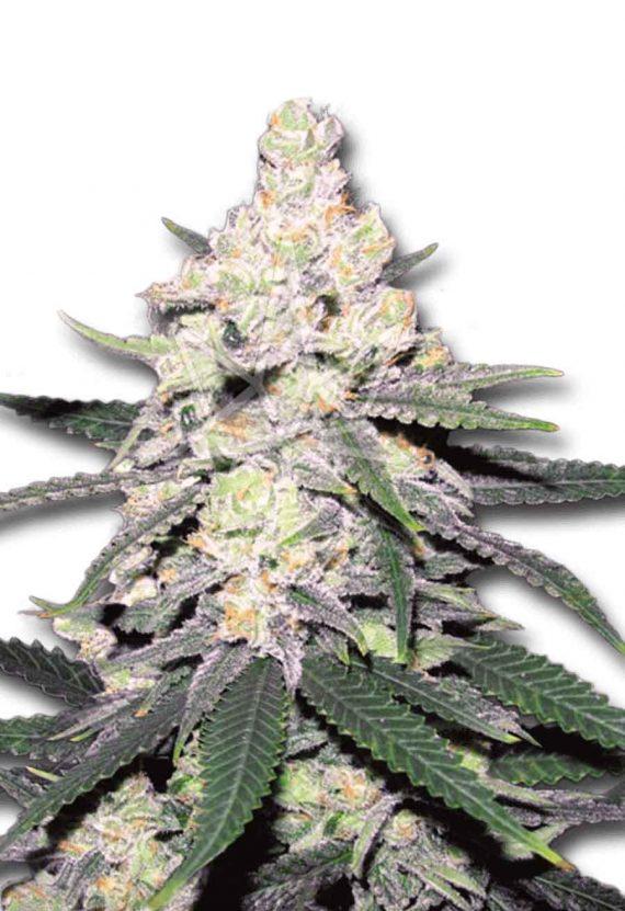 CB Dutch Treat CBD/Medical Seeds
