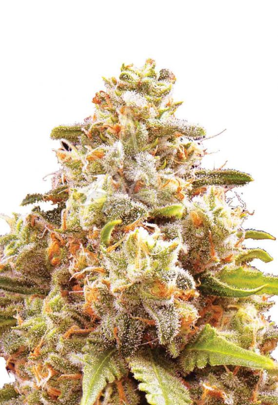 Strawberry Cough Autoflowering Seeds