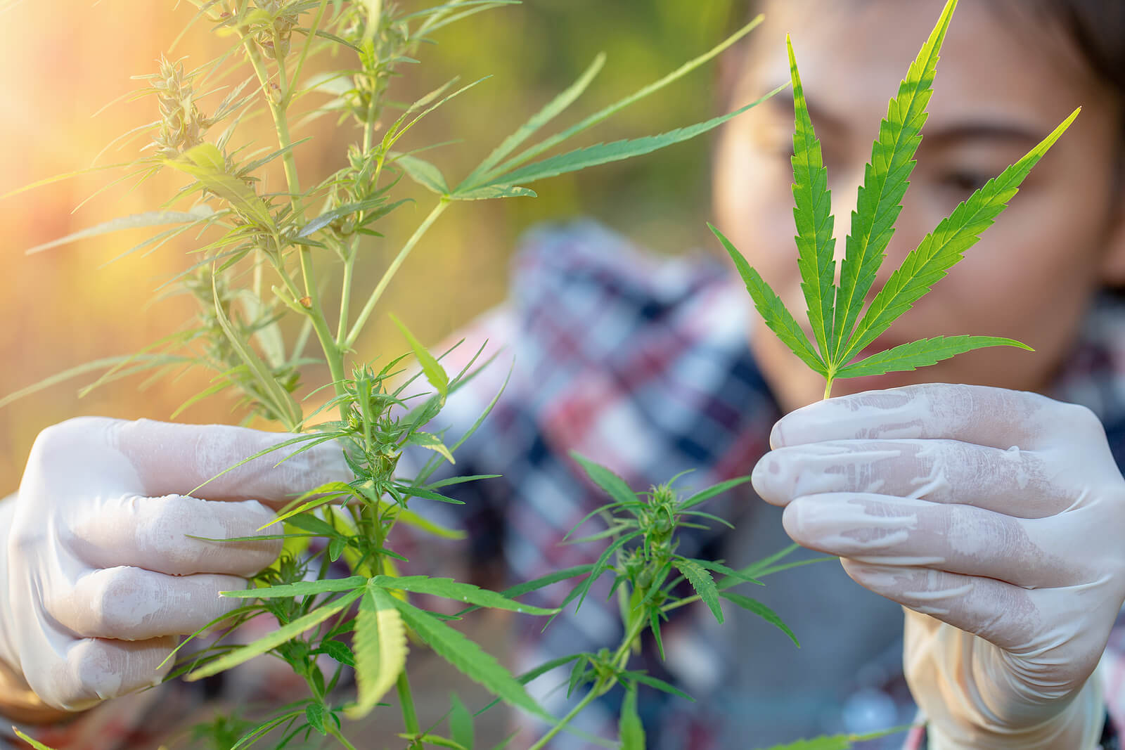 Top 10 Most Popular Marijuana Strains of All Time
