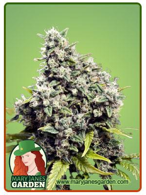 Grapefruit Feminized Marijuana Seeds