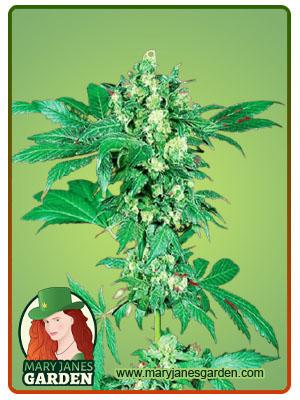 Maple Leaf Feminized Marijuana Seeds