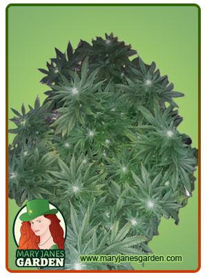 OG Banana Punch Feminized Marijuana Seeds