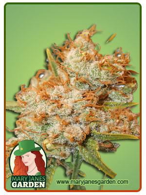 Sour Flower Autoflowering Marijuana Seeds