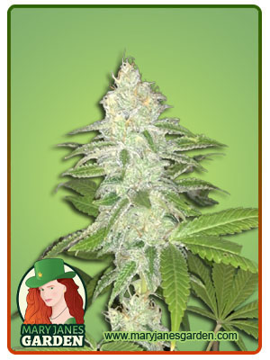 Lemon Sherbet Feminized Marijuana Seeds