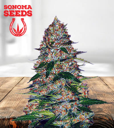 Northern Lights Autoflowering Marijuana Seeds